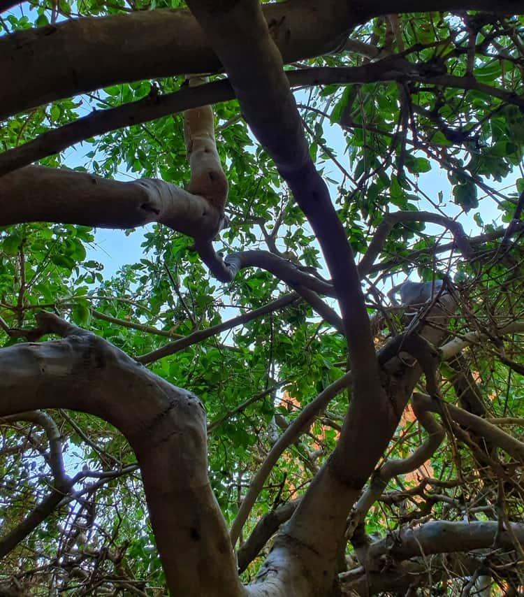 עין סלוודורה - כנרת מטיילת - שיח סלבדורה